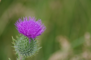 Sometimes life is like a thistle...So beautiful, but can inflict so much pain.